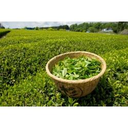 Зеленый чай -  представитель азиатской культуры